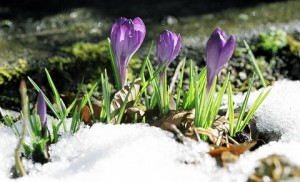 Crocuses emerging from the snow